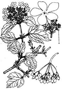 wolliger schneeball heilpflanze